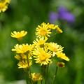 Photos: 初夏の湿原に咲く花(サワオグルマ)