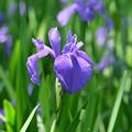 初夏の湿原に咲く花(カキツバタ)