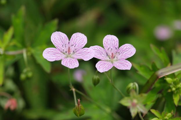 八幡湿原の花(ビッチュウフウロ)