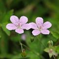 Photos: 八幡湿原の花(ビッチュウフウロ)