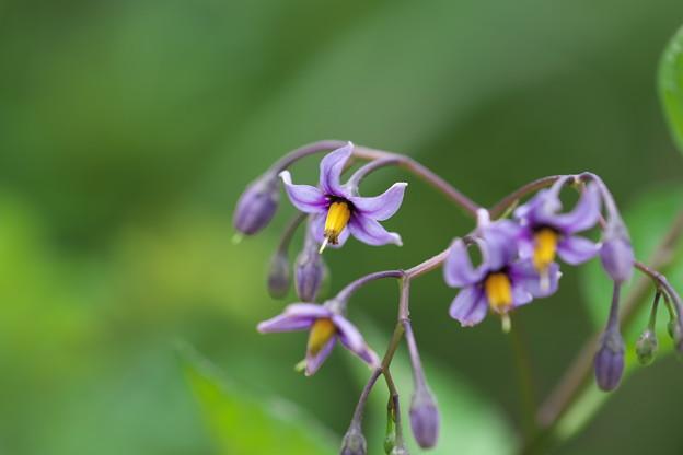 八幡湿原の花(オオマルバノホロシ)