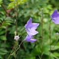 夏山の花(キキョウ)