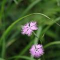夏山の花(カワラナデシコ)