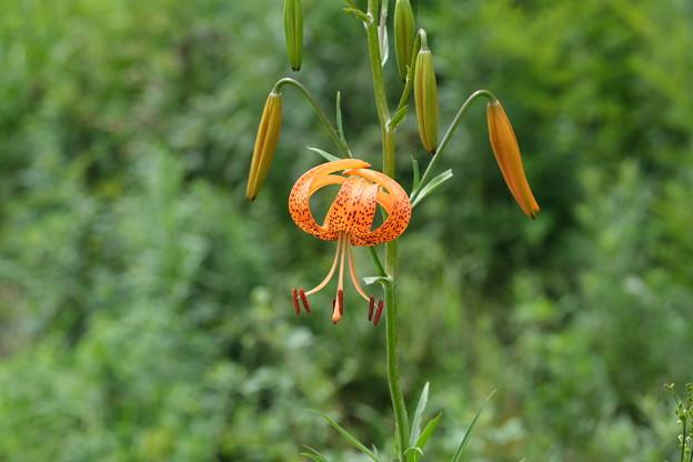 夏山の花(コオニユリ)