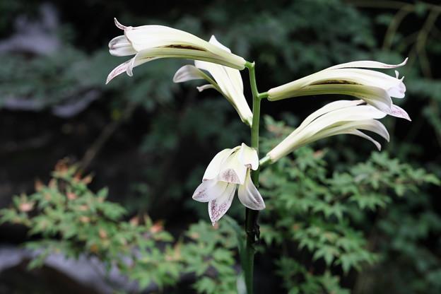 夏山の花(姥百合)