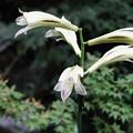 Photos: 夏山の花(姥百合)