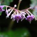 夏山の花(イワタバコ)