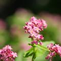 Photos: 高嶺ルビーの咲く