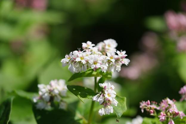 高嶺ルビーの咲く(白花)