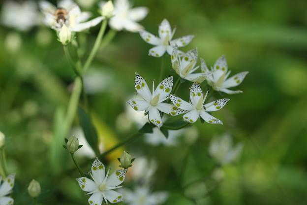 秋の湿原に咲く花々(アケボノソウ)