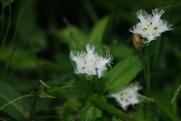 秋の湿原に咲く花々(シラヒゲソウ)