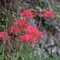 Photos: 彼岸花の季節