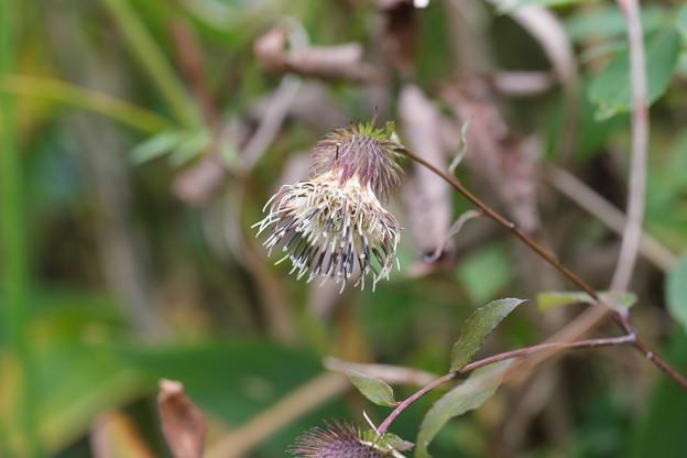 秋の山野草(キクバヤマボクチ)