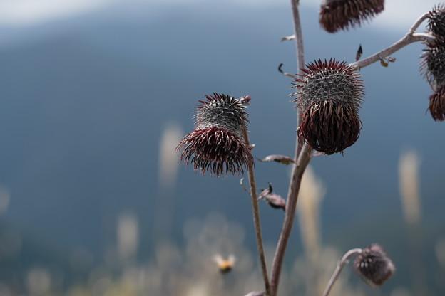 秋の山野草(ハバヤマボクチ)