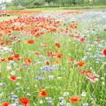 写真: 1705240084お花畑