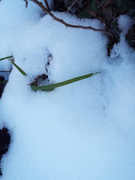 キルタンサス雪に埋没1801260009