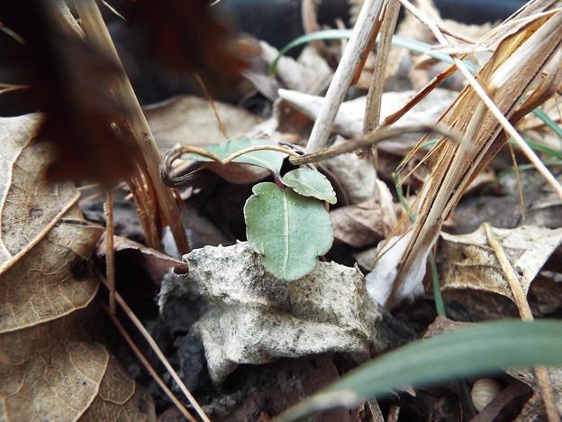 シモバシラ鉢植え1 1802010002