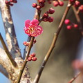 Photos: 紅千鳥一番花D3-1401 1802040004