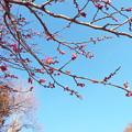 Photos: 八重寒紅C2-026 1802040009