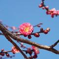 Photos: 八重寒紅C2-026 1802040010