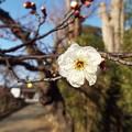 Photos: 八重冬至C1-001 1802040011