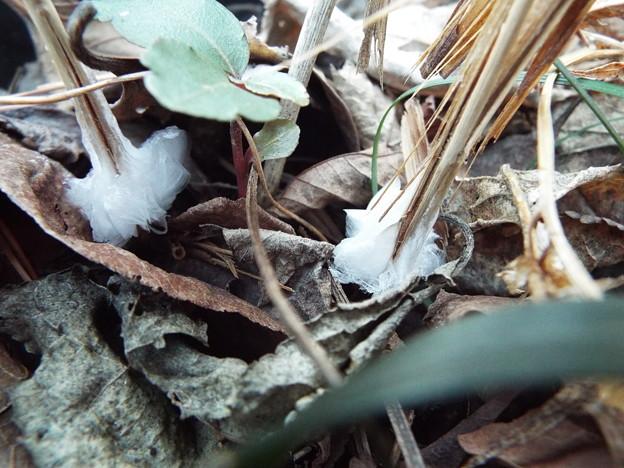 シモバシラ鉢植え1 1802140052