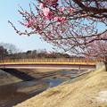 写真: 1802240016筑紫紅花追橋
