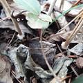 写真: 今シーズン最後か シモバシラ鉢植え1 1803070001