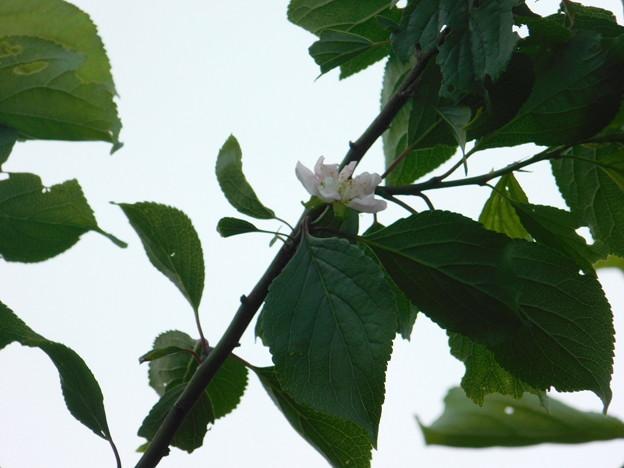 梅返り咲きC3-023-1DSCN0480