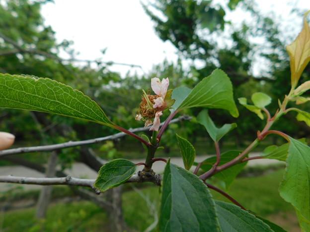 梅返り咲きC3-023-2DSCN0469