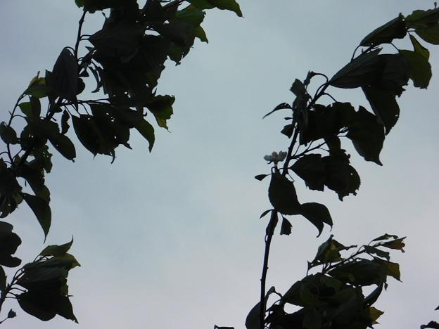 梅返り咲きC3-023-1DSCN0487