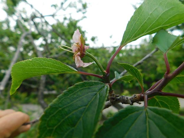 梅返り咲きC3-023-2DSCN0473