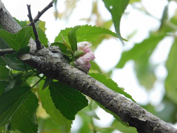 梅返り咲きA5-182DSCN0485