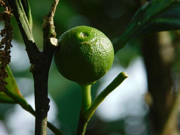 DSCN3675柑橘系