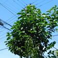 写真: サラサモクレン返咲きDSCN5737