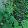 セキヤノアキチョウジ花穂に葉DSCN6360