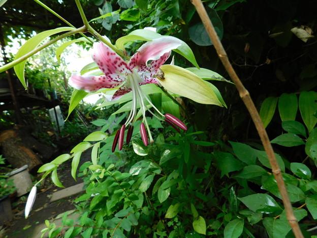 カノコユリ一番花開花DSCN6948