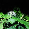 写真: カラスウリ雌花DSCN7176
