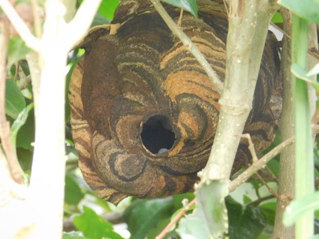 写真: スズメバチの巣DSCN7262