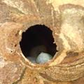写真: スズメバチ幼虫の死骸DSCN7266