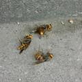 写真: スズメバチ死骸DSCN7261