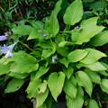 ナガサキギボウシ開花DSCN7652