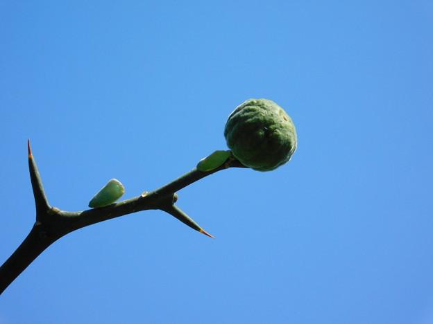 カラタチ未熟果とアオバハゴロモDSCN0105