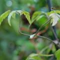 Photos: コバノボタンヅル茎の先端DSCN0382