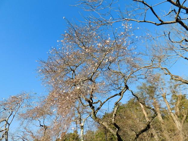 二季咲桜C2-029DSCN0710