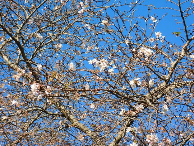 二季咲桜C2-029DSCN0711