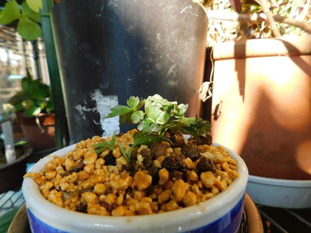コボタンヅル挿し芽とマルバノホロシ播種DSCN1529