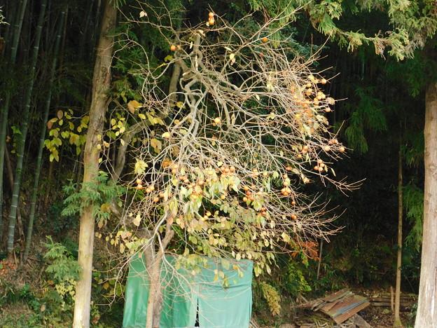 DSCN2237山柿か