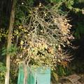 Photos: DSCN2237山柿か