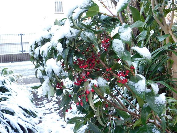 雪マンリョウDSCN5870